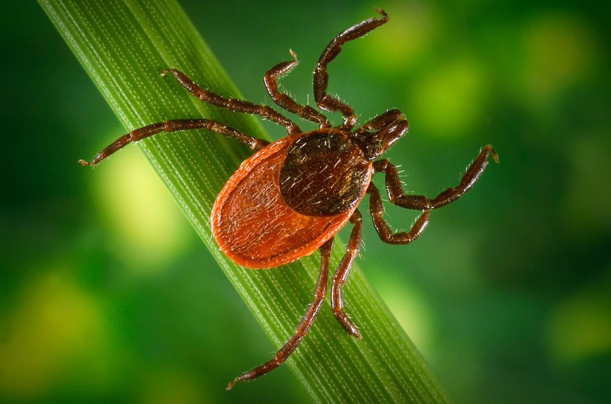 Ticks and the Diseases They Carry