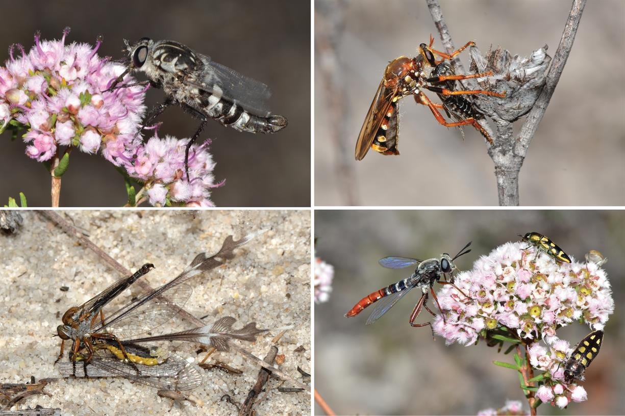 The Expert Is In: Diversity of Flies: A Look at Predatory Assassin Flies and Their Pollen-Feeding Relatives