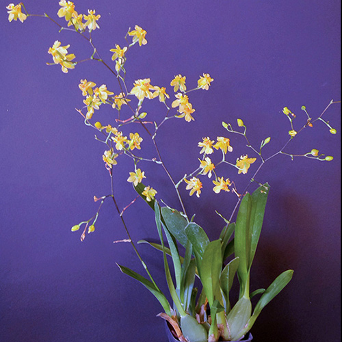 Orchids for the Holidays