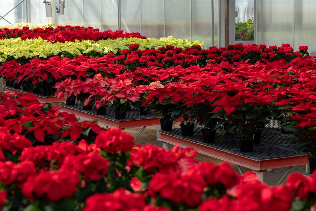 Let's Talk Gardens: Poinsettias and Holiday Trees