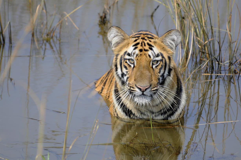 Talk: Conserving India's Bengal Tigers